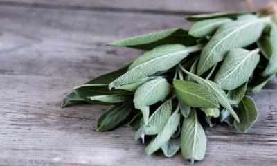 Žalfija – Kadulja ljekovita biljka svima na dohvat ruke - Ljekovito bilje