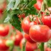 Biljke koje trebate posaditi pored paradajza da dobijete više plodova - Ljekovito bilje