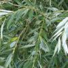 Bijela vrba - prirodni aspirin i 'lijek' protiv uroka - Ljekovito bilje