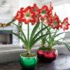 Kako se gaji amarilis, u kući ili bašti: Prelepi vatreni cvet svakome uspeva!
