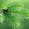 Borove iglice kao lijek protiv kašlja i otečenog grla - Ljekovito bilje