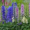 Kako se uzgaja žavornjak: Ponosna biljka raskošne lepote, cveta dva puta tokom leta!