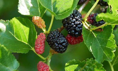 Dud – moćan prirodni lijek - Ljekovito bilje