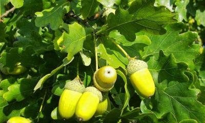 Hrast drvo čiji je svaki dio ljekovit - Ljekovito bilje
