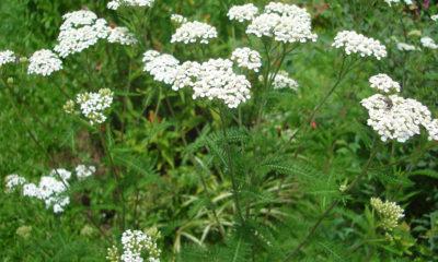 Kunica, hajdučica ili stolisnik – SPAS za sve tegobe pa i one najupornije - Ljekovito bilje