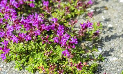 Majčina dušica: Biljka od koje se ništa ne baca - Ljekovito bilje