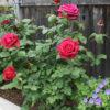 Neka kraljica cveća krasi i vašu baštu ili terasu: I vaš vrt može izgledati kao vrt engleske kraljice! (FOTO)