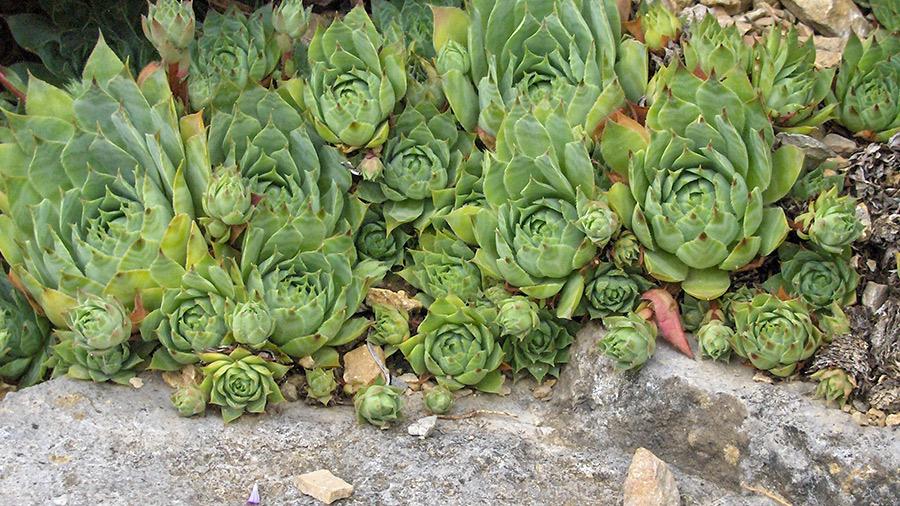 ČUVARKUČA ČUVA ZDRAVLJE: 4 lekovite upotrebe omiljene biljke - Ljekovito bilje
