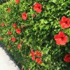 Kako da hibiskus postane najlepši cvetni žbun u bašti: Ovako se pravilno zaliva i orezuje!