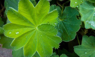 Moćni čuvar ženskog zdravlja: Ova biljka leči ciste i miome, izbacuje višak vode, ali i podstiče mršavljenje! - Ljekovito bilje