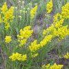 Ivanjsko cvijeće: Za jetru, bubrege i protiv kožnih oboljenja - Ljekovito bilje