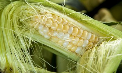 Svila od kukuruza spas za upalu mjehura i natekle zglobove - Ljekovito bilje