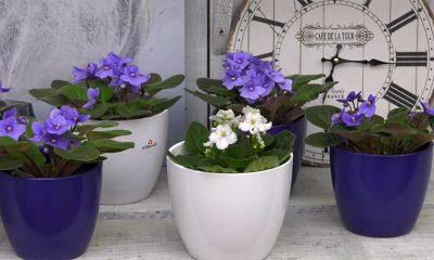 Kako da ljubičice stalno izbacuju raskošne cvetove: Najvažnije cake za gajenje!
