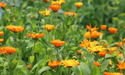 7 zadivljujućih koristi NEVENA - Ljekvotio bilje