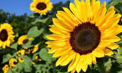 Suncokret blagoslovljeni cvijet, kao namirnica i kao lijek - Ljekovito bilje