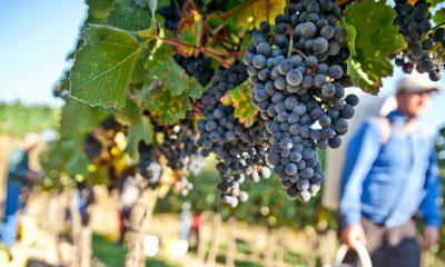 Redovno konzumiranje grožđa aktivira ove gene: 10 razloga da ga jedete što više! - Ljekovito bilje