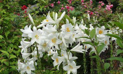 Jesenja sadnja LJILJANA daće jaču biljku i krupnije cvjetove na proljeće